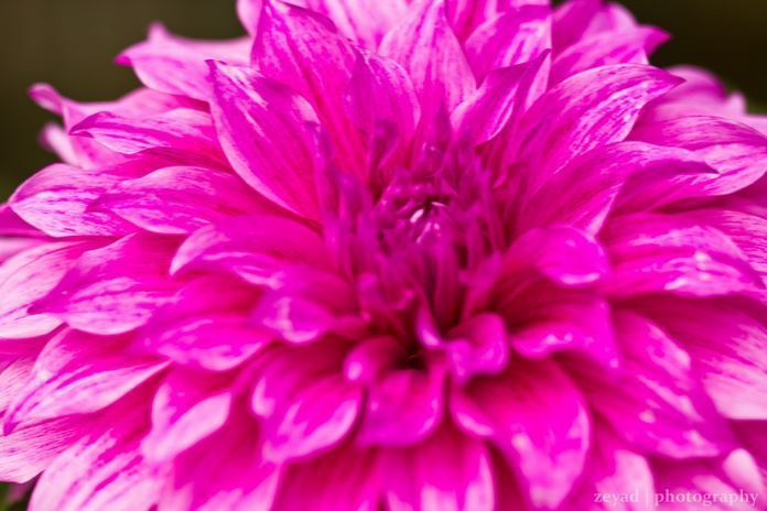 Dahlia or Chrysanthemum.JPG